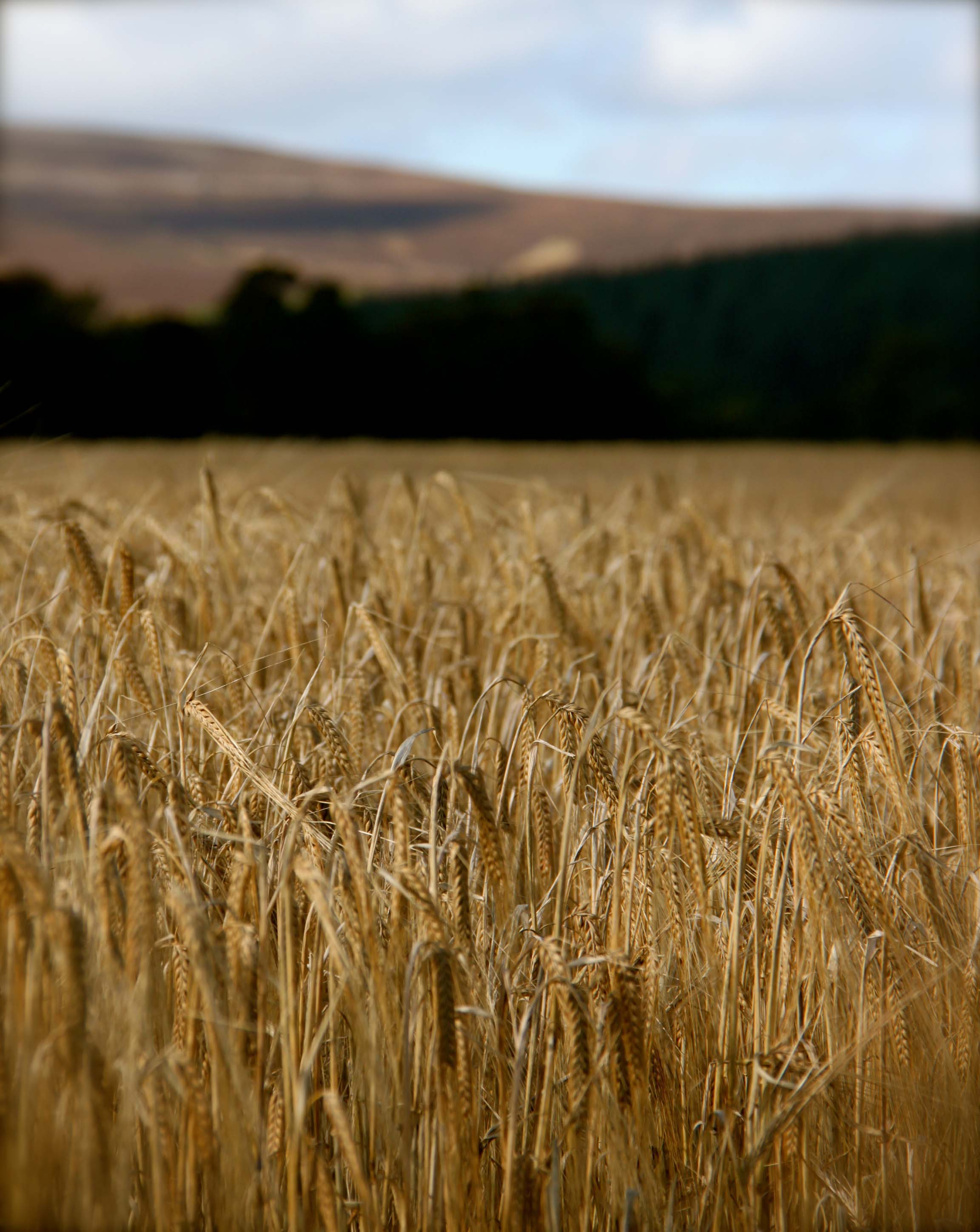 FIELDS OF BARLEY PHOTO BY NIKKI BRAND 2012 4